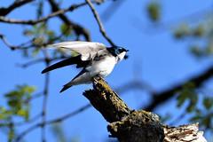 Swallow- Tree Swallow, Minnesota, Sherburne County, Sherburne National Wildlife Refuge (EC Leatherberry) Tags: swallow bird wildlife minnesota treeswallow sherburnecounty sherburnenationalwildliferefuge nationalwildliferefuge tachycinetabicolor usfishandwildlifeservice