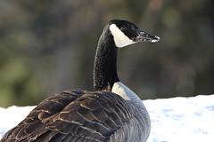 Canadian Goose (Stanley Wood) Tags: goose canadiangoose bird coeurdalene idaho brantacanadensis