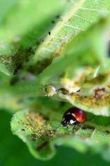 Ladybird Beetle (rdodson76) Tags: ladybirdbeetle ladybug coccinellidae bug insect pest predator predatoryinsects aphids macro nature animal wildlife entomology