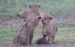 This is My Rock and You Cannot Touch It (Kitty Kono) Tags: lioncubs ngorogorocrater tanzania kittyrileykono