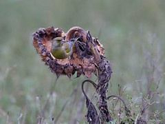 Groenling - Greenfinch - Carduelis chloris -5313 (Theo Locher) Tags: greenfinch groenling grünling verdierdeurope carduelischloris birds vogels vögel oiseaux netherlands nederland copyrighttheolocher