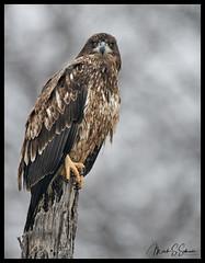 Juvenile Eagle at Swan Lake National Wildlife Refuge - No. 3 (Nikon66) Tags: juvenilebaldeagle bald eagleeagleswan lake national wildlife refugemedonmissourinikond850600mm nikkor