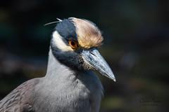 Yellow-crowned Night-Heron (Oliver Burrus) Tags: bird birding nightheron heron yellow crowned night florida sanibel dingdarlingnwr