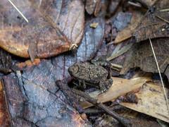 Sapinho (Ars Clicandi) Tags: brasil sãomiguelarcanjo brazil sãopaulo sao br são miguel arcanjo parque estadual carlos botelho sapo sapinho frog