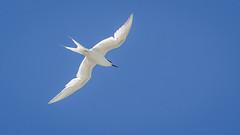 White-fronted tern (Stefan Marks) Tags: animal bird flying nature outdoor sky sternastriata tern whitefrontedtern aucklandwaitakere northisland newzealand