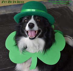 Pet Me I'm Irish (ASHA THE BORDER COLLiE) Tags: st patricks day pet lucky shamrock bowler hat green border collie dog ashathestarofcountydown connie kells county down photography
