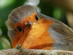 Wot No Grub? Robin Red (dianereynolds) Tags: robin red macromondays firstletteroflastname titchfield bird chat wildlife