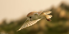Barn Owl Quartering (Steve (Hooky) Waddingham) Tags: stevenwaddinghamphotography animal countryside coast bird british nature northumberland flight wild wildlife owl prey planet