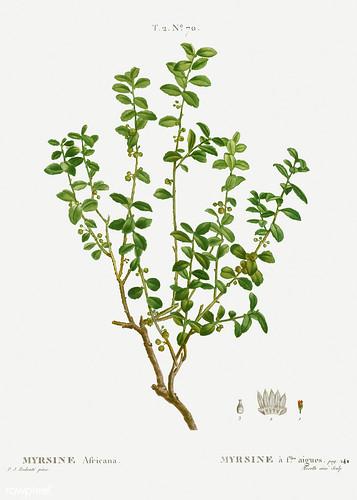Cape myrtle (Myrsine africana) illustration from Traité des Arb