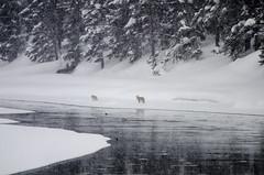 DW6_2926.jpg (Upstate Dave) Tags: 2018 majorplaces haydenvalley coyote geographicname riversandstreams dog mammals yellowstone yellowstoneriver places yellowstonenationalpark