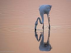 oh oh .... fenicottero, flamingo ... (margit-luitpold2005) Tags: perspective2019 flamingo wildlife bird water pink feathers beak vallecavanata friuliveneziagiulia