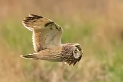 Owl series #10 (Trev Green) Tags: d500 nikon sigma bird owl wirral parkgate