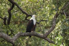 African Fish Eagle (Rorals) Tags: southafrica bird wildlife safari kruger птушка ptica птица pták fugl vogel lind lintu oiseau πουλί madár éan uccello putns paukštis għasfur ptak pássaro pasăre vták pájaro fågel птах