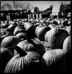 img421 (Jurgen Estanislao) Tags: still life pumpkin halloween art analog film vintage photography black white hasselblad 500 cm carl zeiss planar t 80mm f28 ilford hp5 plus kodak hc110 g
