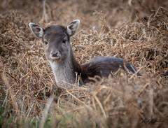 Fawn fallow deer (vickyouten) Tags: fallowdeer fallowfawn deer babydeer nature wildlife britishwildlife wildlifephotography nikon nikond7200 nikonphotography sigma150600mm dunhammassey altrincham uk vickyouten
