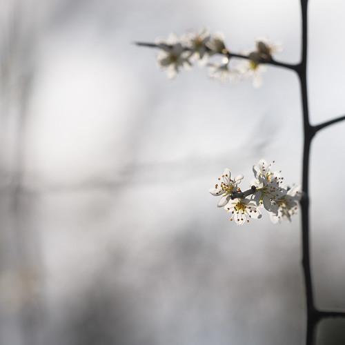Prunus Spinoza - Sleedoorn
