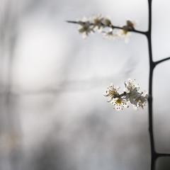 Prunus Spinoza - Sleedoorn (de_frakke) Tags: nature prunus flower white wood natuur bos sleedoorn bloemen wit pellenberg koebos