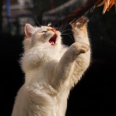 I catch THE BIRD !!! (FocusPocus Photography) Tags: tofu dragon katze kater cat chat gato tier animal haustier pet spielt playing jäger hunter