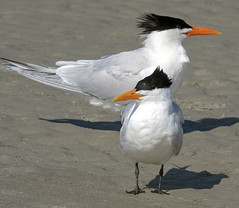 Royal Terns (Songbill) Tags: royaltern thalasseusmaximus hiltonhead