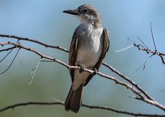Looking, looking Gray Kingbird (Tyrannus dominicensis), Haiti (MikeM_1201) Tags: graykingbird bird animal nature wildlife bos sky d500 paulette haiti morning