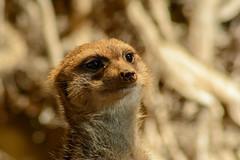 Erdmännchen (grasso.gino) Tags: tiere animals natur nature zoo dortmund nikon d5200 meerkat erdmänchen niedlich cute