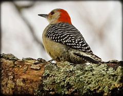DSCN3568-3 (DianeBerky19) Tags: nikon coolpixp1000 bird woodpecker backyardbird redbelliedwoodpecker tree lichen