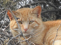 Wild Cat taking comfort in a tree (Anton Shomali - Thank you for over 2 million views) Tags: branches branch trees kitty female male cat wild taking comfort tree wildcat nature animal pet domestic domesticanimals outdoor comfortable hunt cattrees sleep sleeping nikon coolpix p900