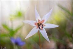 lonely star (Luciano Silei - sky7) Tags: erythroniumdenscanis dentedicane dogtoothviolet flower nature vintagelens manualfocus m42 bokeh macro closeup colors spring canon6d tair11a zenit lucianosilei