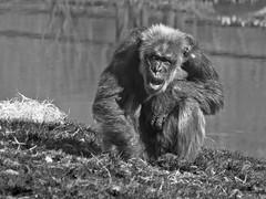 A monkey odyssey (mostodol) Tags: france french beauval monkey singe zoo parc park fuji fujifilm xt20 animal petri 135mm doubleur komura vintage noiretblanc noir blanc monochrome black white