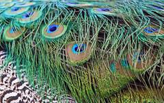 Feathers (AvesAg) Tags: tierpark berlin tierparkberlin zoo pfau pavocristatus peacock blauerpfau indianpeafowl bird vogel federn feathers eos canon 6d