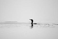 Cormorant (jamiemcd17) Tags: cormorant wild water seabird bird nature wildlife nikon