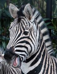 zebra Blijdorp 094A0366 (j.a.kok) Tags: zebra animal africa mammal zoogdier dier herbivore blijdorp