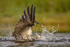 Osprey (coopsphotomad) Tags: osprey bird wildlife nature animal wild fish fishing light bokeh colour brown green yellow water splash predator apex feather wet lake eye talons scotland highlands moment beauty