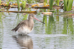 It's not deep (M_squared Images) Tags: msm1935 lancashire rspbleightonmoss silverdale blacktailedgodwit limosalimosa