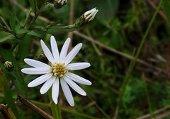 Schrebers Aster (jmunt) Tags: wildflower nativewildflower flower schrebersaster nature