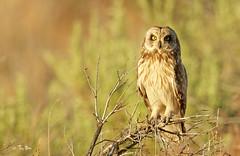 Short eared owl (Thy Photography) Tags: haywardshoreline shoreline haywardregionalshoreline owl california sunshine sunrise sunset raptor bird backyard nature photography outdoor animal shortearedowl wildlife