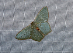 Hemithea sp (creaturesnapper) Tags: moths lepidoptera insects nationalmothweek frasershill stephensplace asia malaysia hemitheasp geometridae