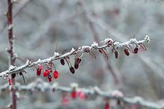 Tak met besjes en rijp (Olga and Peter) Tags: tak twig rijp frost fp1240171