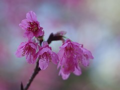 Taiwan Cherry (bamboosage) Tags: helios402 285 preset m42 russia coth5