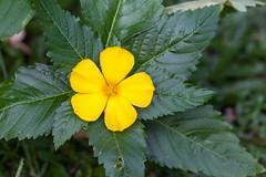 Split Fiveways - _TNY_3943 (Calle Söderberg) Tags: macro canon canoneos5dmarkii canon5dmkii canonef100mmf28usmmacro canon5dmarkii 5d2 flower yellow vietnam phuquoc f4