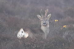 Bare ass (Hammerchewer) Tags: roedeer deer buck animal wildlife outdoor heathland