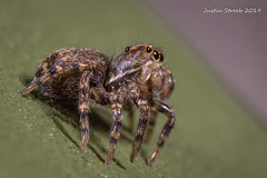 Baby Jumping Spider (strjustin) Tags: jumpingspider arachnid spider bug macro focusstacking