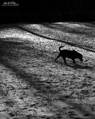 Backyard... or the Moon? (Hi-Fi Fotos) Tags: rocco rocky rock rocket pet dog backyard snow winter bleak lunar stark cold frigid frozen january silhouette mono bw blackandwhite nikkor 40mm micro nikon d7200 dx shadow hififotos hallewell