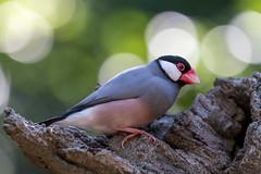 Java Sparrow (Padda oryzivora) (Seb & Jen) Tags: hongkong asia asie park parc island java sparrow oiseau voliere bird