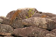 Sri Lankan Leopard - Panthera pardus kotiya (Roger Wasley) Tags: sri lankan leopard panthera pardus kotiya yala national park srilanka mammal rare endangered cat cub ceylon island asia subspecies zoologist deraniyagala iucn red list specanimal