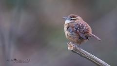 Carolina Wren (Bill McDonald 2016) Tags: wren carolina ontario avian perched perching winter nature wildlife photography canon wwwtekfxca billmcdonald cute songbird