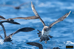 Pomarine Jaeger (Stercorarius pomarinus) (Dave 2x) Tags: stercorariuspomarinus stercorarius pomarinus pomarinejaeger pomarine jaeger sydneypelagic sydney nsw australia leastconcern