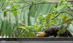 Natureza solta... (alordelo) Tags: viagens travel rio sony brasil brazil urbano urban contraluz green arvore mico beach ilovenature monkey paisagens color cores nature verde natureza tree alordelo lordelo