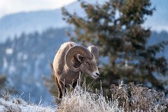 Ram male bighorn sheep standing on the edge of a cliff with frosty winter grasses. (m01229) Tags: ram natural nature kootenaynationalpark brown animal ovis bighorn male majestic goat desertbighorn canadensis spiral outdoors canada horned radiumhotsprings white climber sheep horns wildsheep rocky mountains oviscanadensis horn canadianrockies wildlife isolated head fur wild eatinggrass bighornsheep portrait trophy aries mountainsheep big park wilderness mountain
