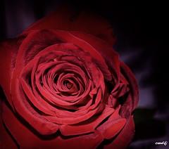 Rosa Roja (candi...) Tags: rosa roja flor fondonegro sonya77ii